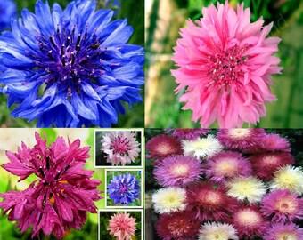 Centaurea (4 variety)