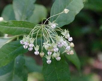 Poke Milkweed Seeds /  Asclepias exaltata syn. Asclepias bicknellii / Asclepias phytolaccoides