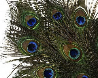 "25-35"" Natural Peacock Feathers 12pc/pkg"