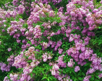 Lilac in abundance, May flowers, English countryside, photo print, Photography, Picturesque print, England,