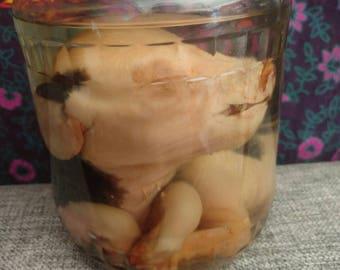 Stillborn piglet wet specimen