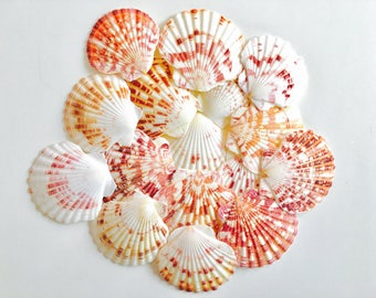 Shell - shell - shell crafting - shell - mother of Pearl