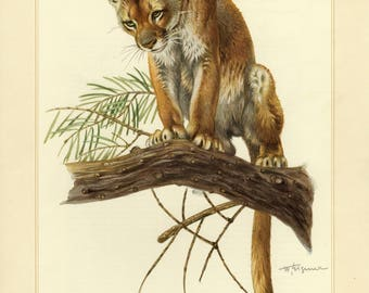 Vintage lithograph of the cougar from 1956