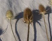 12 Dry Teasel Heads- Thistle- Natural Decor- Natural Crafts- Rustic Decor