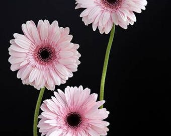 Gerbera Daisy Print, Pink Daisy Wall Art, Daisy Photography, Picture Of Daisies, Bunch Daisies Picture, Flower Print, Pink Home Wall Art