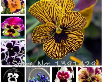 24 colors 50pcs/pack Mexican pansy seeds  Wavy Viola Tricolor Flower Seeds bonsai potted plant DIY home & garden