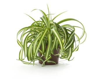 Spider Air Purifying Plant - Indoor - Easy Care