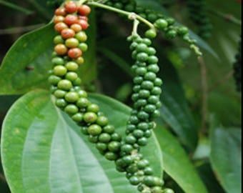 Black Pepper Plant - Piper Nigrum