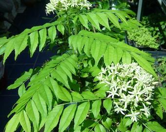 Curry Leaf Tree (Murraya Koenigii) -Indian Fragrant Sweet Neem Leaves Plant- Large