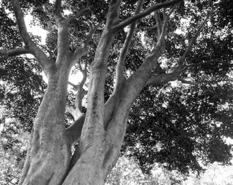 """Landscape Photography, Black and White, Trees in Holliday Park, 11x14"""" Canvas Print"""