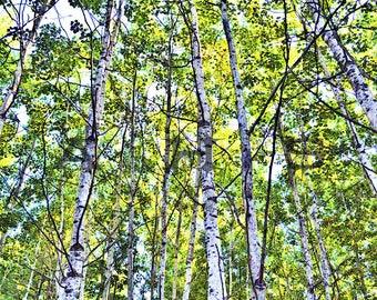 birch trees 2