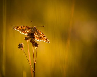 """Photography art original """"Under the fire of the lights"""" - butterfly, photo, macro, yellow, melitee"""