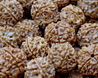 100 grams of Rudraksha plus size, drilled, 5 Mukhi, harvested in the Nepal