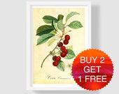 Cherry Botanical Art Print, Cherry Botanical Illustration, Cherry Wall Art, Vintage French Art Print, Hand-colored Copper Engraving, Poiteau