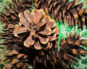 Pine Cones, Western White Pine