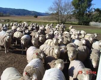 mmfwool skirting >>  36 lbs Raw wool skirting ...box 12x14x14