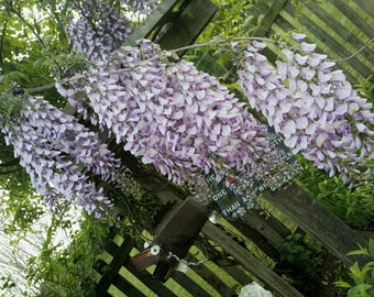 Rosea Wisteria Vine - Live Plant - Pup from my Mother Plant