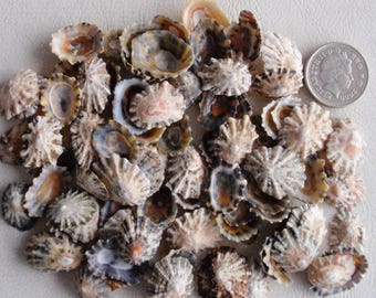 100 English small and tiny limpit seashells for jewelery or crafts as found