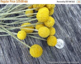 Save25% Craspedia-25 MINI short stem Billy Balls-Billy Buttons-Dried Yellow Wedding Flowers-Bundle of 25