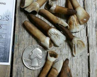 Large Incisor Teeth- Cow Bison Elk Deer- Antiqued Real Teeth - Lot No. 170610-S