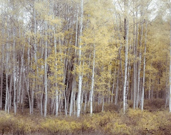 Aspen trees fall, Colorado art, fall tree photo, cabin decor, rustic home decor, yellow aspen leaves art, muted pastel woods, neutral decor