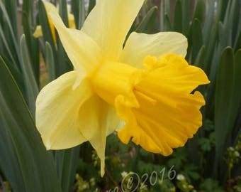 SALE Daffodil. Photography Giclée Print. Yellow Spring Festival Flower. Pollen Flower Print. Art Photo. Nature Photo. Botanical print. Green