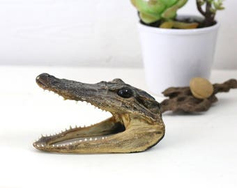 Alligator skull vintage taxidermy and curiosities