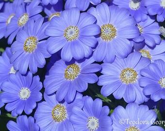 Blue Daisy-Like Flower  Photography, Wall Print, Botanical Photography, Flower Photography, Garden Photography, Spring Garden