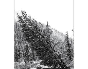 Black & White Photography 'Tilted Pines' by Meirav Levy - Winter Trees Art Eclectic Nature Decor on Metal or Plexiglass