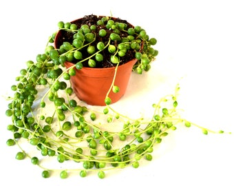 "9Greenbox - String of Pearls, Senecio rowleyanus - 4"" Pot"