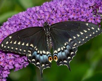 One Real Arizona Papilio Polyxenes Black Swallowtail