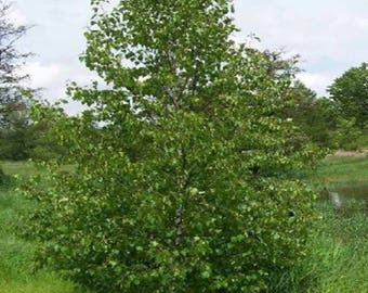 100 Asian White Birch Tree Seeds, Betula platyphylla