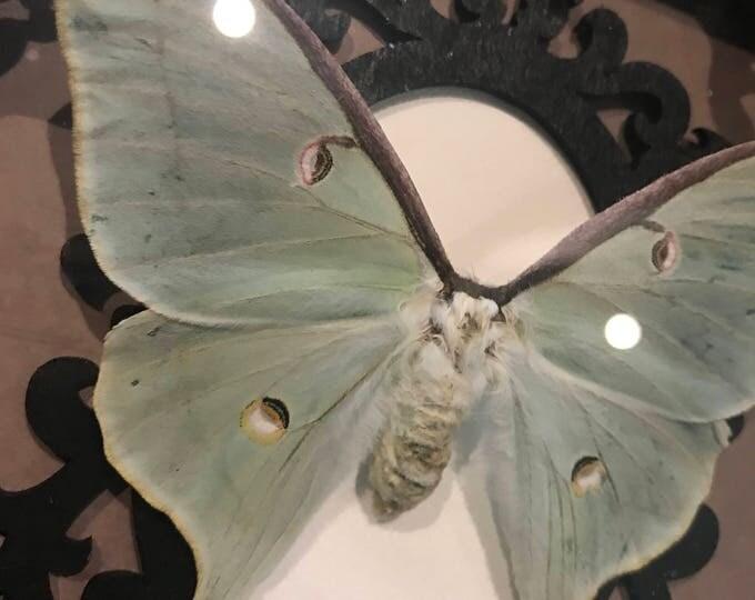 Luna moth taxidermy display! Real!