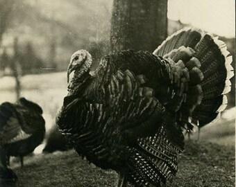 Turkey bird antique photo