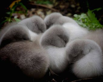 5 Cygnets Photograph - Sleeping Cygnet - Napping - Baby Swan - Newly Hatched Cygnets - Baby Animal - Wildlife - Fluffy - Swan Photography