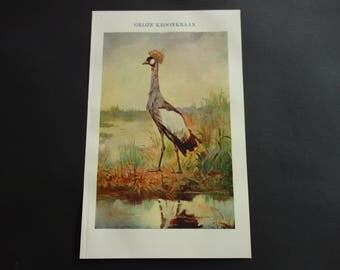 "Grey Crowned Crane print 1909 original antique bird drawing of cranes - old Dutch vintage color illustration prints 16x25c 6x10"""