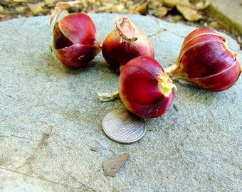Egyptian Walking Onion Bulbs