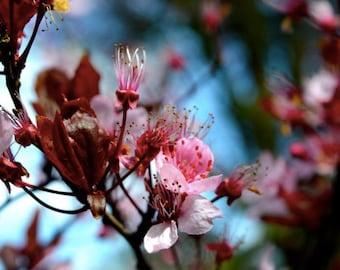 Cherry Blossom photo set of 4 prints