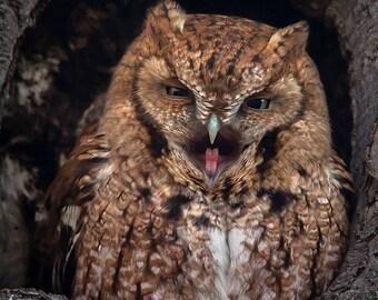 Red Morph Eastern Screech Owl - Bird Photo Print