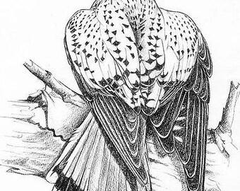 A drawing of a Kestrel