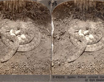 Snake with Eggs Stereoview Photo