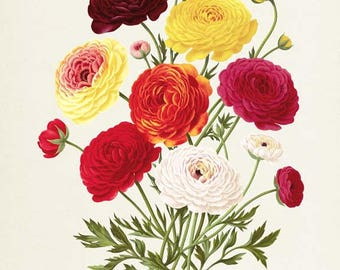 Persian buttercup Botanical Print - Ranunculus Bouquet - Flower Art Print - Flower Art - Floral Art - Garden