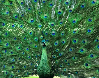 Strutting Emerald Green Peacock Taxidermy, Fantail, Spreadtail