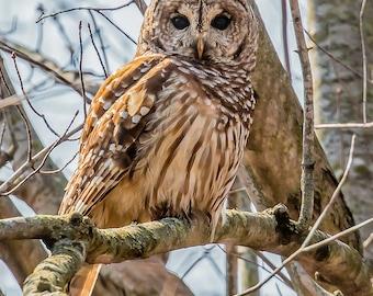 Owl Photography, Barred Owl Photo, Picture of an Owl, Owl Print, Owl Lover Gift, Owl Art, Owl Decor, Bird Photography, Wildlife