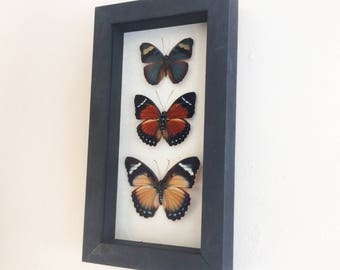Real butterflies framed - rare Euphaedra trio