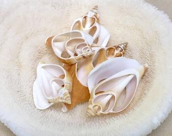 "Seashells - 5 Cut Canarium Shells 2""-3"" - bulk sea shells craft shells wedding bouquets coastal nautical"