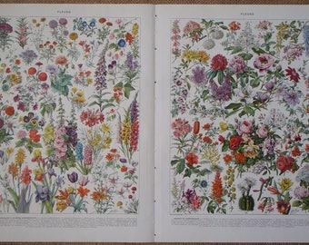 TWO Antique Illustrations of FLEURS (Flowers) by Adolphe Millot from Nouveau Larousse Illustré published 1930