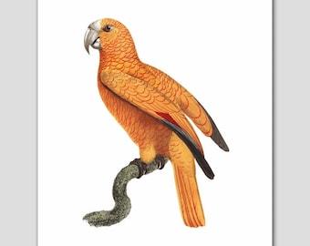 "Antique Bird Art, Yellow Parrot Print, (Office Wall Artwork, Yellow Home Decor) -- ""Tortoiseshell Parrot"" 18th Century Artist"
