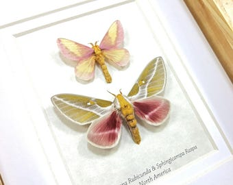 FREE SHIPPING Framed Dryocampa rubicunda & Sphingicampa raspa Rosy Maple Moth Taxidermy A1 #146