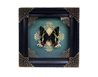 Taxidermy butterfly  Madagascan sunset moth Chrysiridia rhipheus goth decor halloween gift gothic home decor oddities curiosity real insect